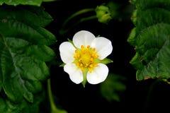 Fiore della fragola Immagini Stock Libere da Diritti