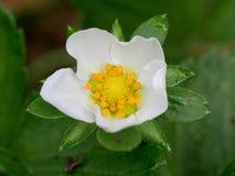 Fiore della fragola Immagine Stock