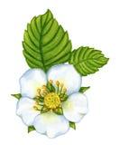 Fiore della fragola dell'acquerello su bianco Fotografia Stock