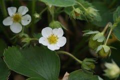 Fiore della fragola e frutti di sviluppo immagine stock