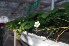 Fiore della fragola in serre Fotografia Stock