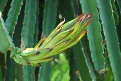 Fiore della frutta del drago Fotografie Stock