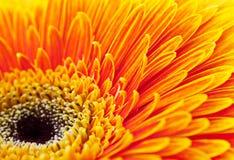 Fiore della gerbera Fotografia Stock