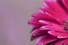 Fiore della gerbera bello e fondo viola della goccia di acqua del fiore Immagini Stock Libere da Diritti