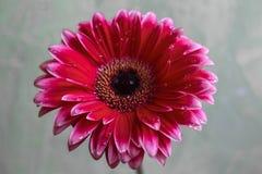 Fiore della gerbera bello e fondo viola di goccia del fiore Immagine Stock Libera da Diritti