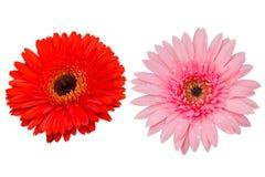 Fiore della gerbera su bianco isolato Fotografia Stock