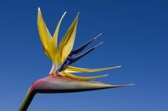 Fiore della gru Fotografia Stock