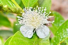 Fiore della guaiava Fotografia Stock