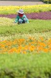 Fiore della guarnizione del lavoratore nel giardino Fotografie Stock