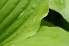 Fiore della hosta fotografia stock