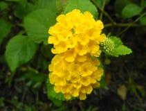 Fiore della lantana Immagini Stock Libere da Diritti