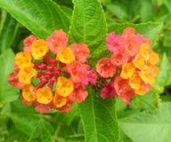 Fiore della lantana Immagine Stock