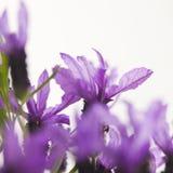Fiore della lavanda Fotografia Stock Libera da Diritti