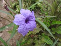 Fiore della lavanda Immagini Stock