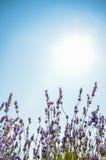 Fiore della lavanda con cielo blu Fotografia Stock