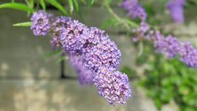 Fiore della lavanda sull'albero nei precedenti dello stesso colore Il movimento della macchina fotografica porta il fiore con il  stock footage