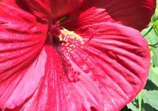 Fiore della luce rossa Immagine Stock