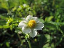 Fiore della macro della fragola Fotografie Stock