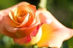 Fiore della macro di rosa dell'arancio Fotografie Stock Libere da Diritti