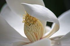 Fiore della magnolia Fotografia Stock Libera da Diritti