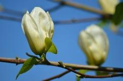 Fiore della magnolia Immagini Stock Libere da Diritti