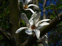 Fiore della magnolia - bianco fotografia stock libera da diritti
