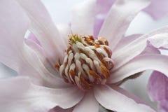 Fiore della magnolia del loebner di Leonard Messel Fotografia Stock
