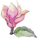 Fiore della magnolia del Wildflower in uno stile dell'acquerello isolato Immagini Stock Libere da Diritti