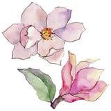 Fiore della magnolia del Wildflower in uno stile dell'acquerello isolato Fotografia Stock