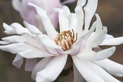 Fiore della magnolia di stella di Centennia Fotografia Stock