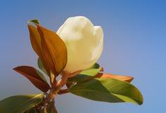 Fiore della magnolia grandiflora Fotografia Stock