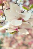 Fiore della magnolia nella primavera Fotografia Stock