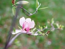 Fiore della magnolia in primavera Fotografie Stock Libere da Diritti