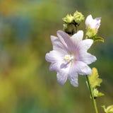 Fiore della malva Fotografia Stock Libera da Diritti