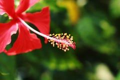 Fiore della malva dell'ibisco sulla vista fotografia stock
