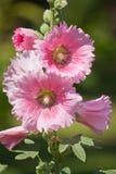 Fiore della malvarosa Fotografia Stock Libera da Diritti