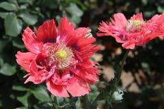 Fiore della malvarosa Immagine Stock Libera da Diritti