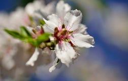 Fiore della mandorla Immagini Stock Libere da Diritti