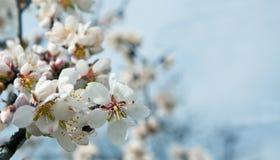 Fiore della mandorla Immagine Stock Libera da Diritti