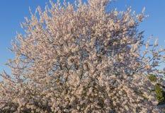 Fiore della mandorla Immagine Stock