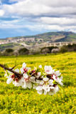 Fiore della mandorla a Agrigento Fotografie Stock Libere da Diritti
