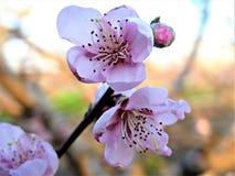 Fiore della mandorla della ciliegia Fotografie Stock Libere da Diritti