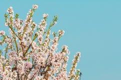 Fiore della mandorla, mandorlo di fioritura a marzo Immagine Stock