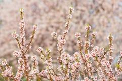 Fiore della mandorla, mandorlo di fioritura a marzo Immagine Stock Libera da Diritti