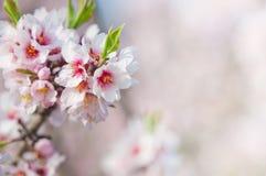 Fiore della mandorla, mandorlo di fioritura a marzo Immagini Stock