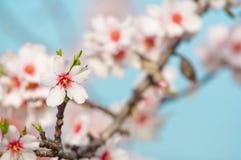 Fiore della mandorla, mandorlo di fioritura a marzo Fotografie Stock Libere da Diritti