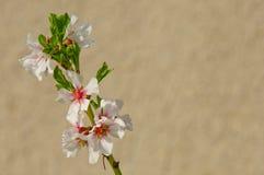 Fiore della mandorla, mandorlo di fioritura a marzo Immagini Stock Libere da Diritti