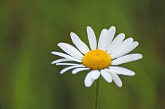 Fiore della margherita Fotografia Stock
