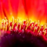 Fiore della margherita Immagini Stock
