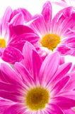 Fiore della margherita immagine stock